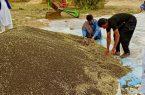 کشاورزان بمپور اولین دانه های روغنی کلزا در کشور را برداشت کردند