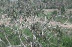خسارت ۱۵ هزار میلیارد ریالی سرما به پسته رفسنجان