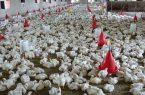 تولید سالیانه حدود ٣٠ هزارتن گوشت مرغ در سیستان و بلوچستان