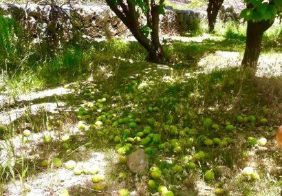 بارندگی ١۵٠ میلیارد ریال به باغات زردآلوی رقم شاهرودی خسارت زد