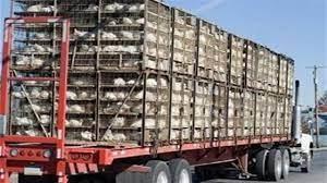 توقیف کامیونهای حمل مرغ زنده بدون مجوز در آمل