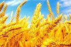 ۱۲۴ هزار هکتار مزارع گندم مازندران مبارزه شیمیایی شد